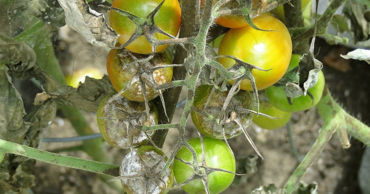 Tomatoes with tomato blight.