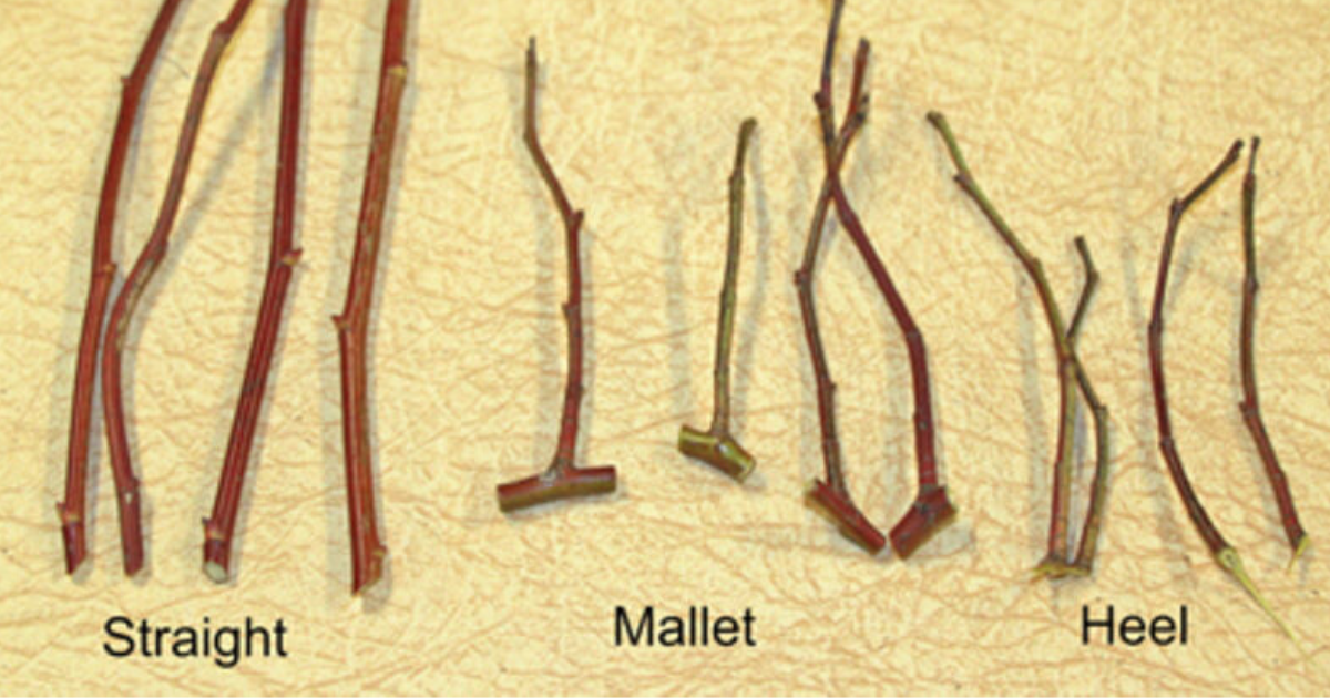Stem cuttings illustrate three types of hardwood cuttings, such as straight, mallet, and heel.