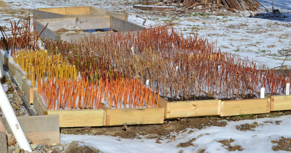 Raised beds of hardwood cuttings.