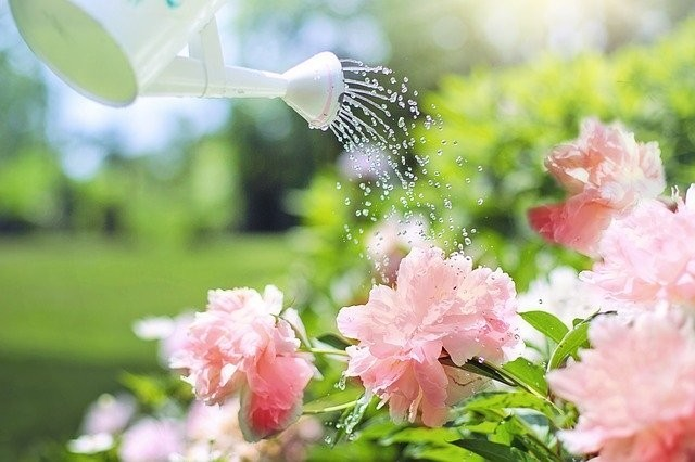 a white watering can watering pink flowers