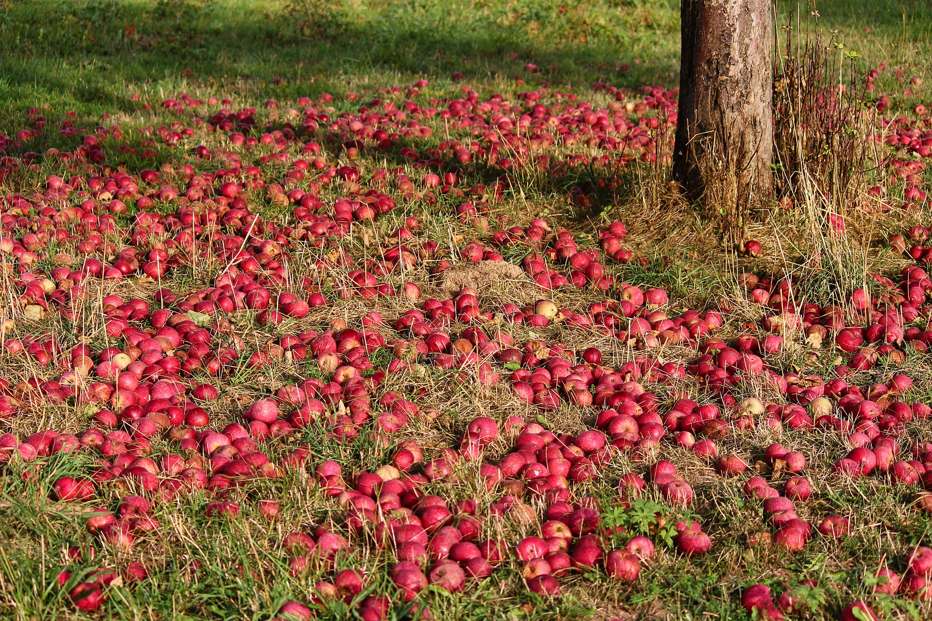 Fruit drops from the apple tree.