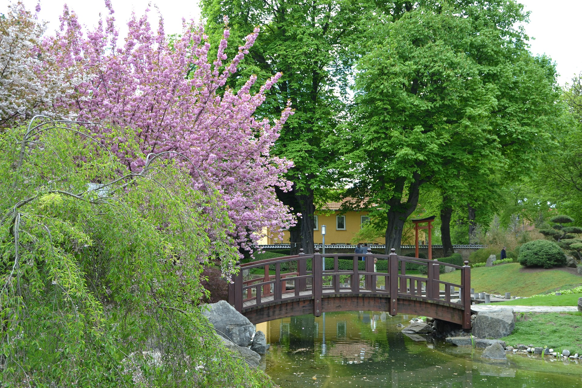 A bridge in the pond with blossoming pink cherries.
