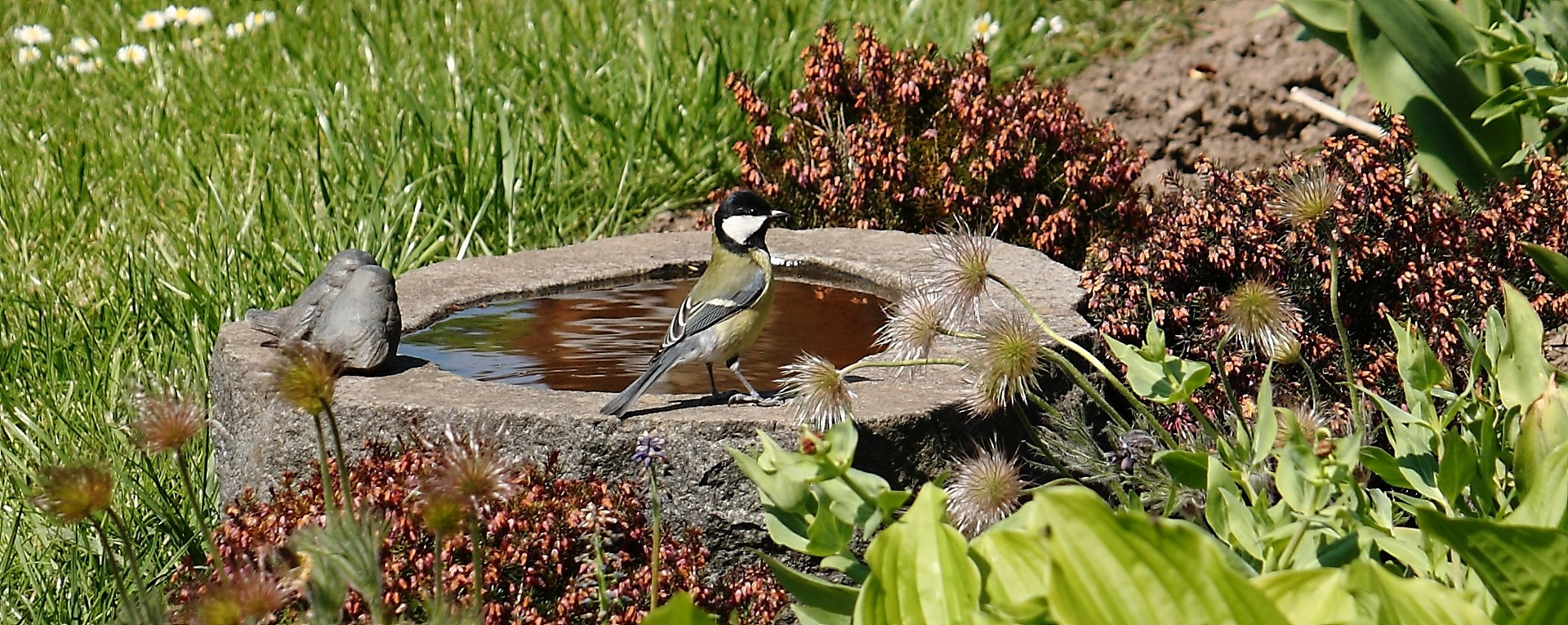 A single bird scanning for danger before cooling off in a stone birdbath.
