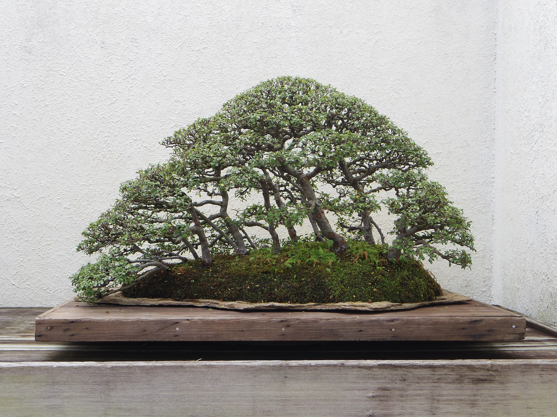 Bonsai tree on a wooden platform.