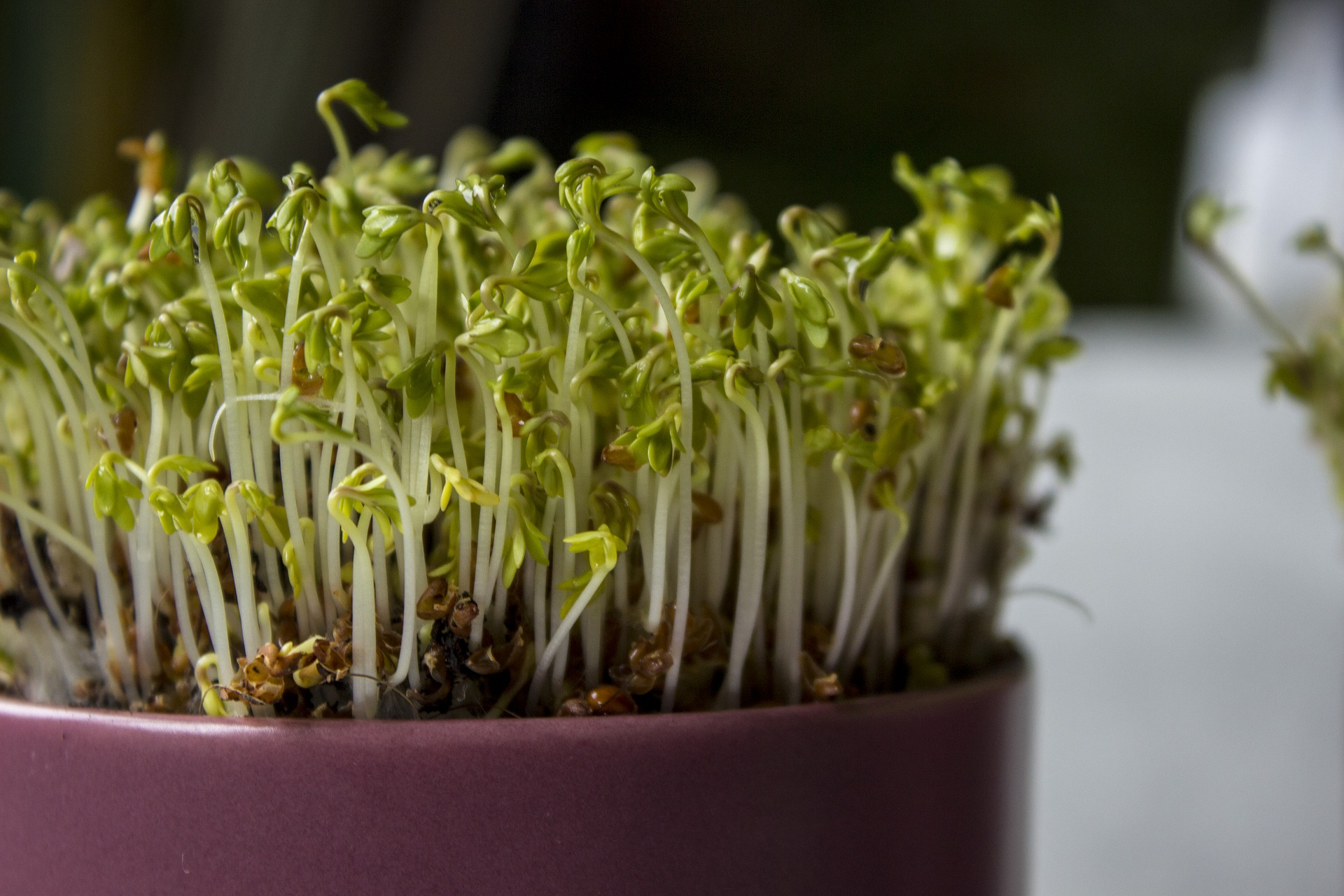 A Cress plant grown indoors in a container.