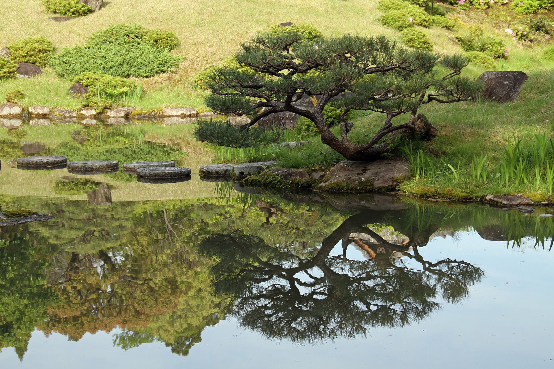 A bonsai tree beside the pond.