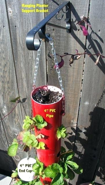 Hanging strawberry plant in red PVC pipe.
