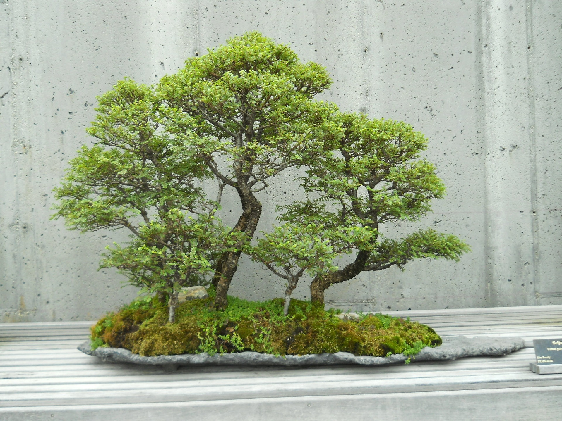 Bonsai tree on a white wooden platform.