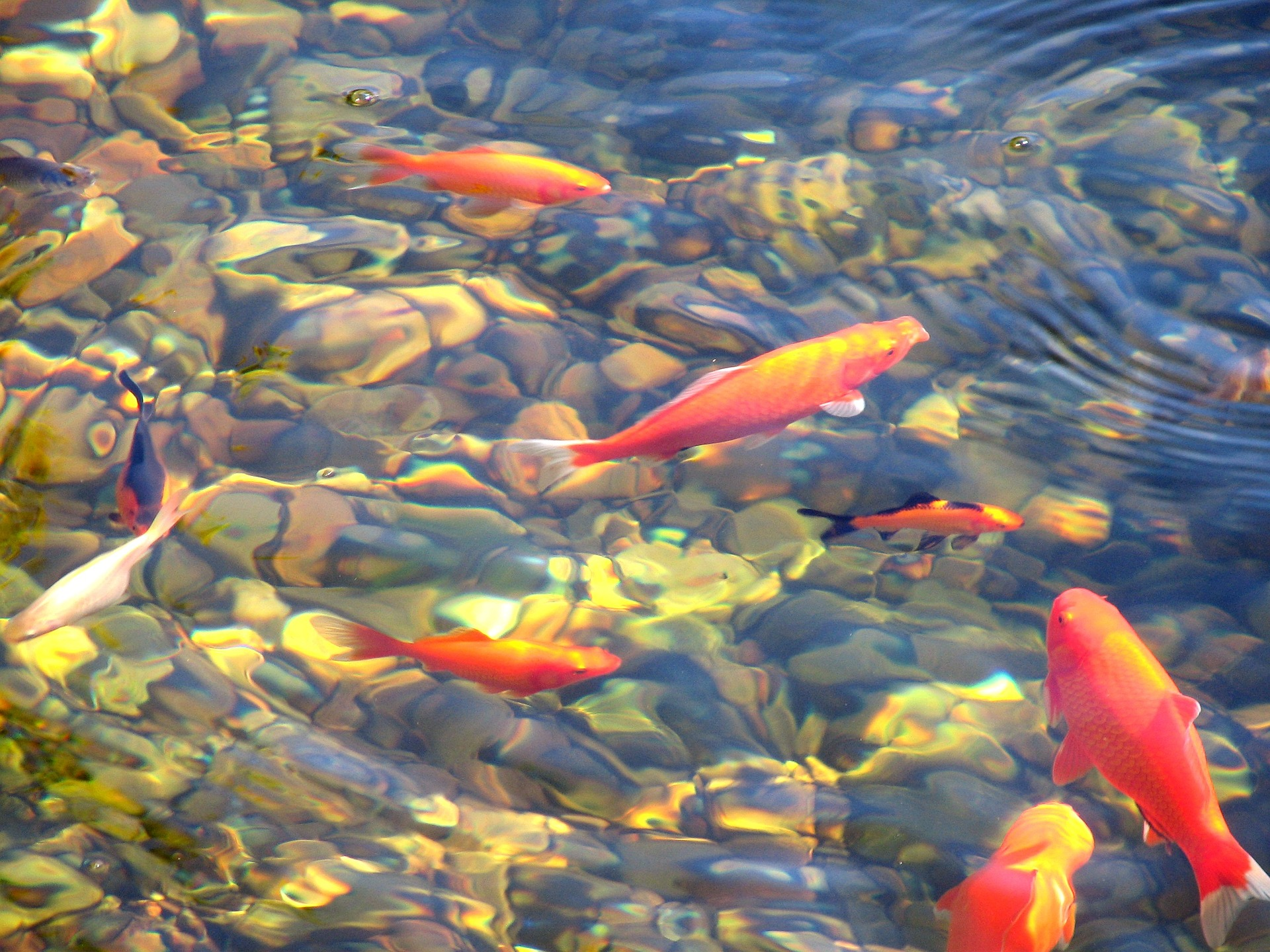 A group of Koi swimming in a pond.