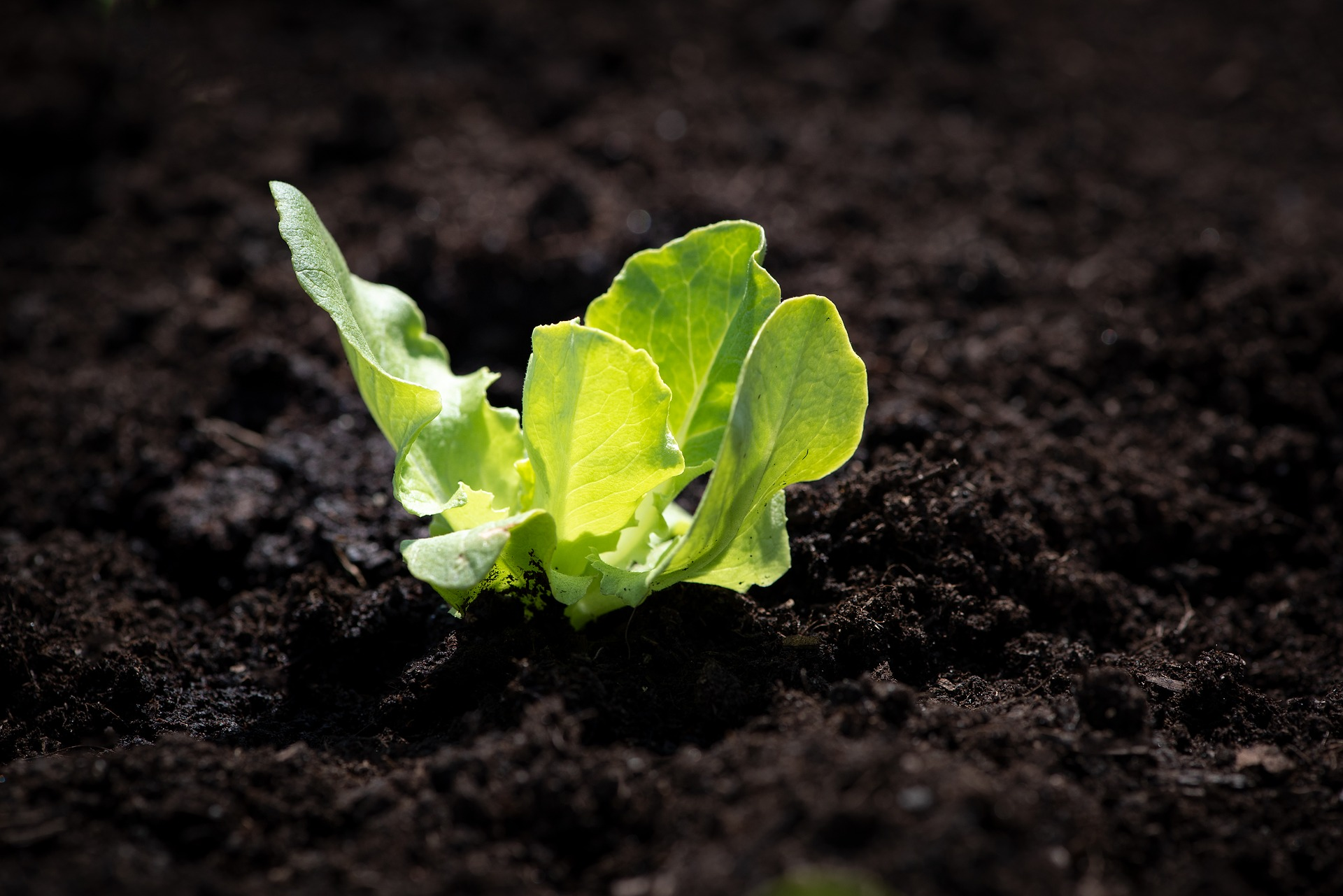 Lettuce seedling stemming out of dark brown soil.