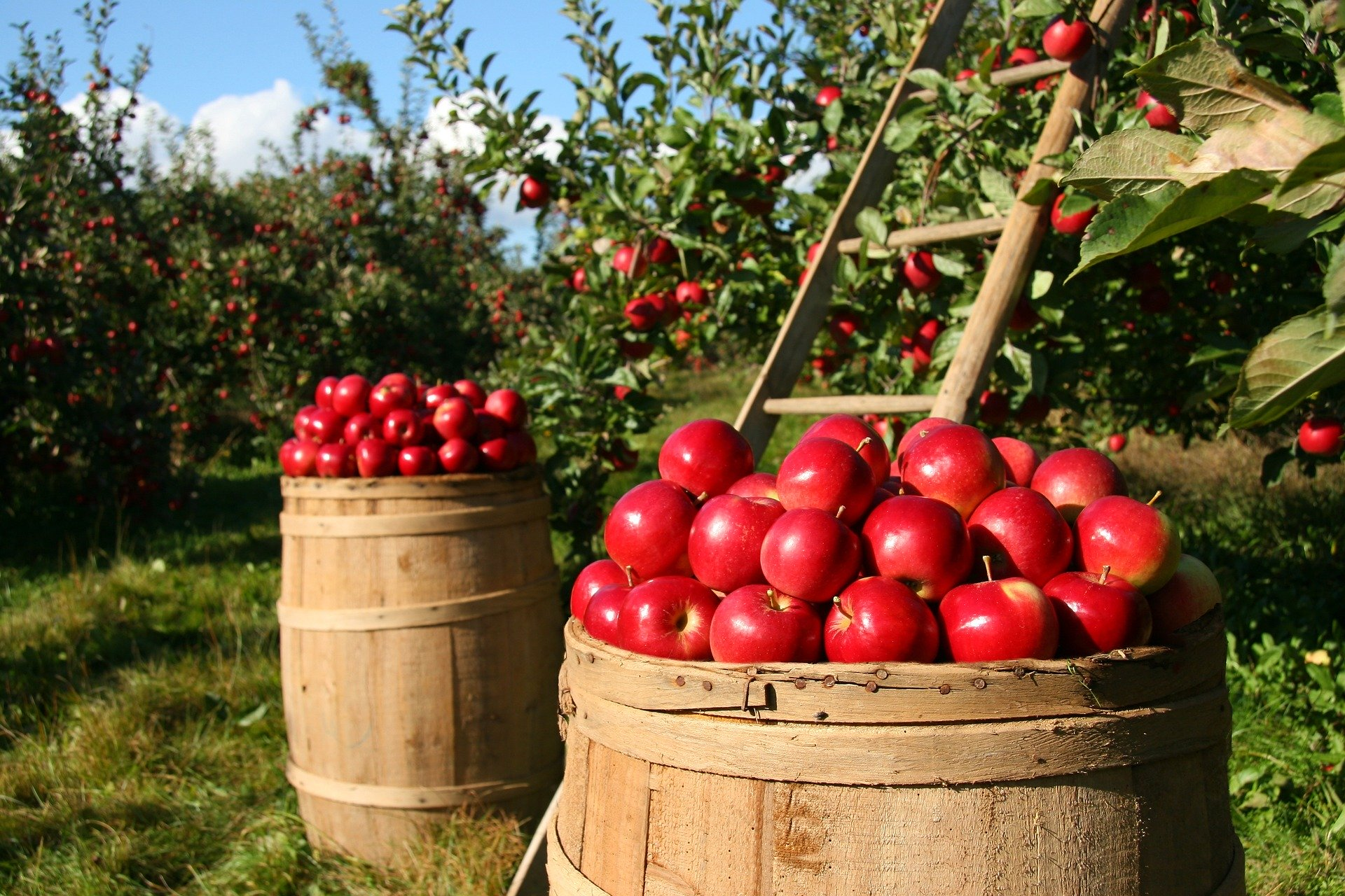 Newly harvested apples in the farm.