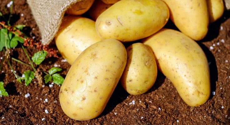 Potatoes in the soil.