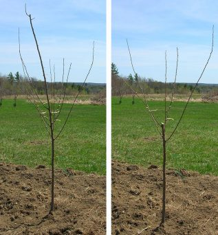 The structure of the newly transplanted apple tree before and after pruning.