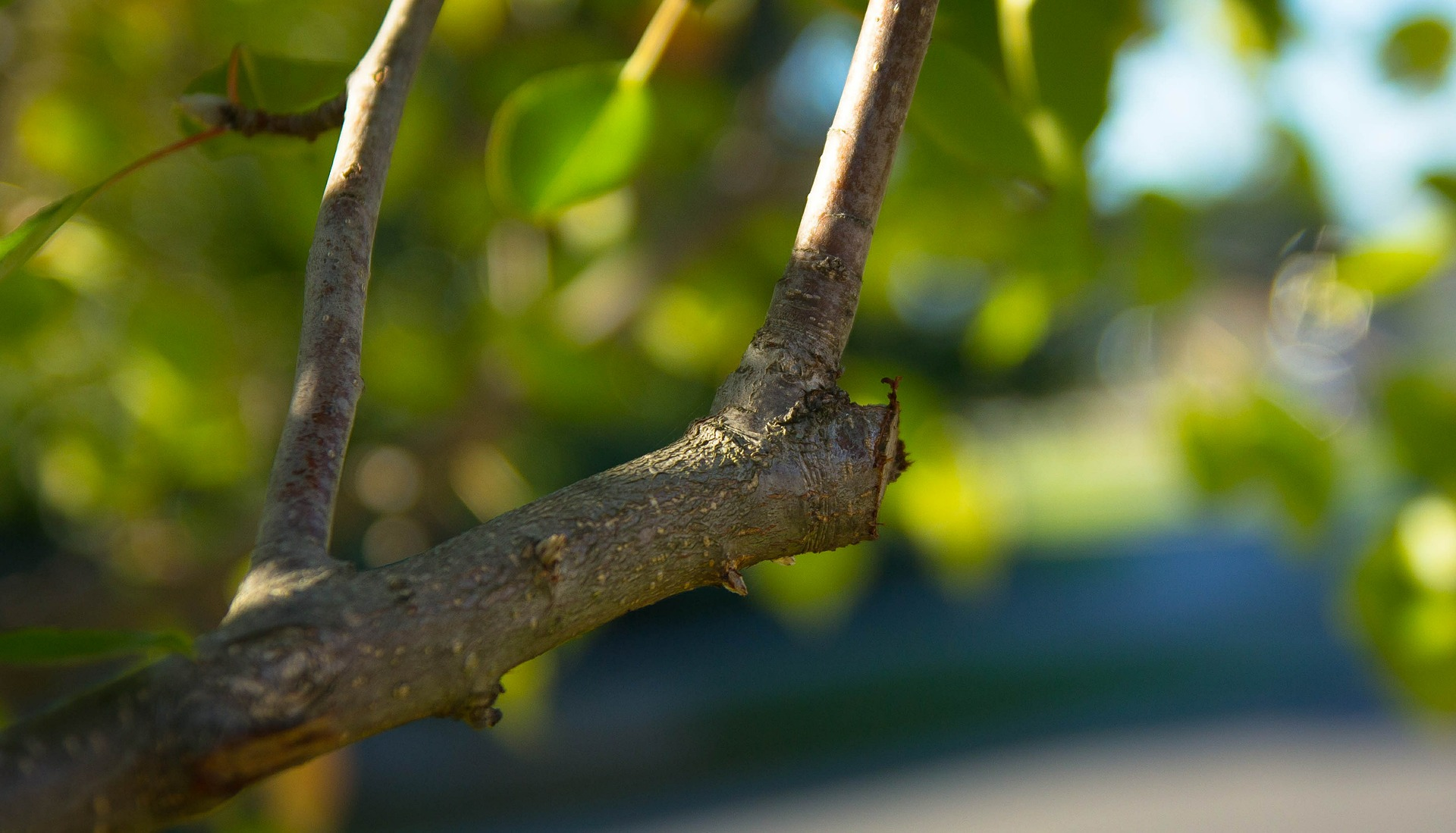 Newly pruned branch of a peach tree.