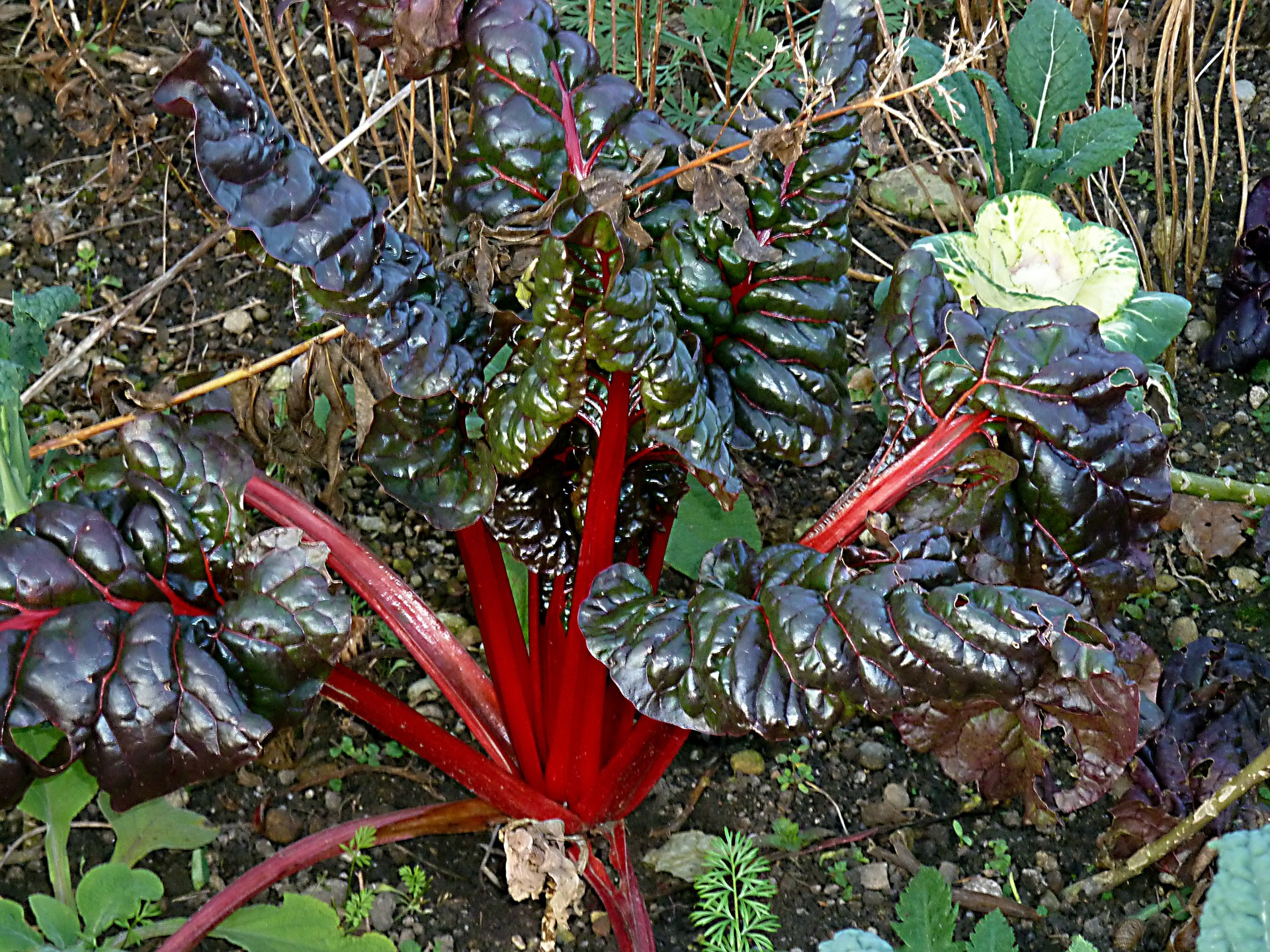 An exotic variety of rhubarb with long red stalks.