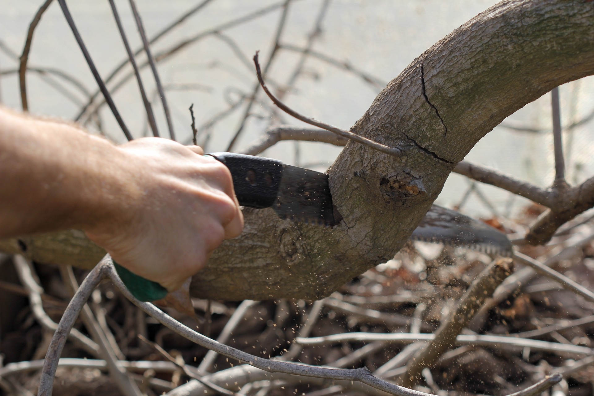 Trimming widespread branches of an apple tree.