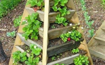 Growing strawberry vertically using stackable cedar wood planter.