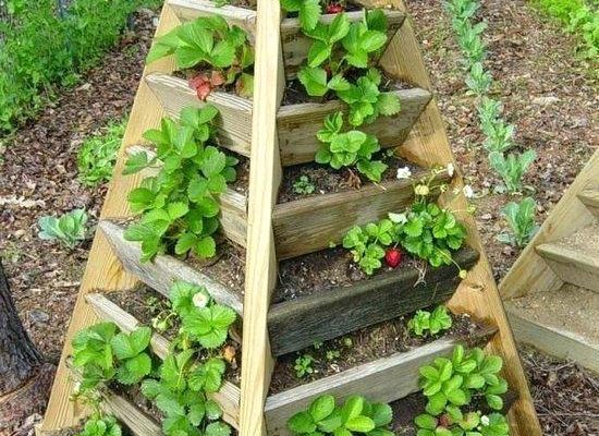 6 Ways You Can Grow Strawberries Vertically Step By Step Guides Seasonal Preferences