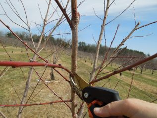 Pruning young apple trees to outline its branching and framework.