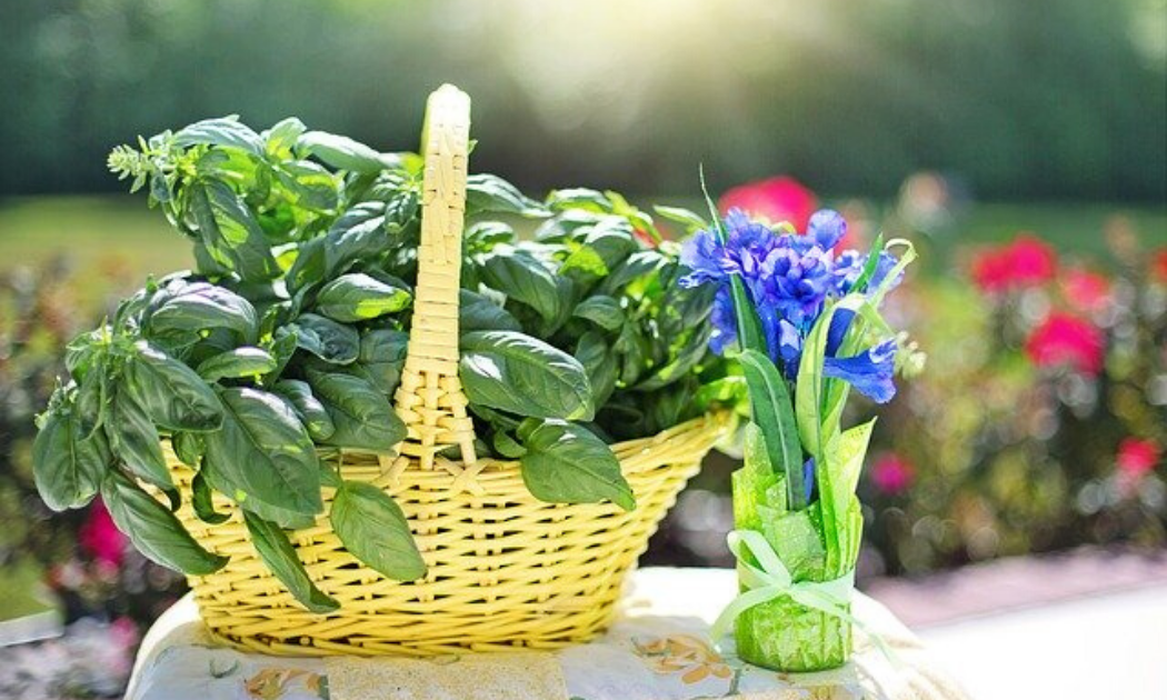 Basil in yellow basket.