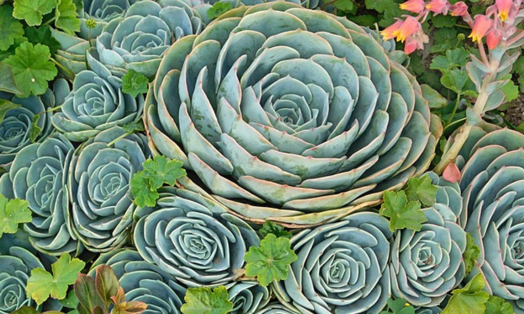 Echeveria succulent with lots of chicks.