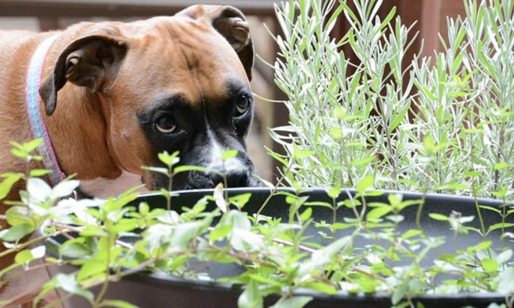A brown dog sniffing a lavender plant in the garden.