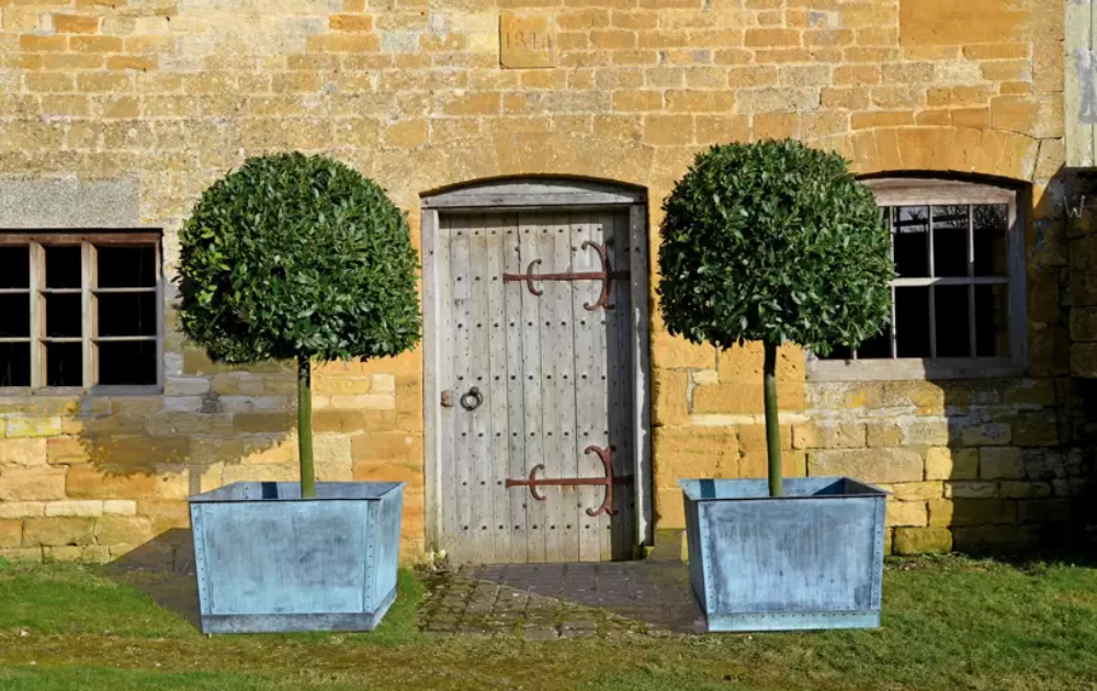Two glossy bay trees standing at the front door.