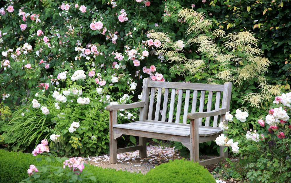Weathered wooden bench beside blossoming roses.