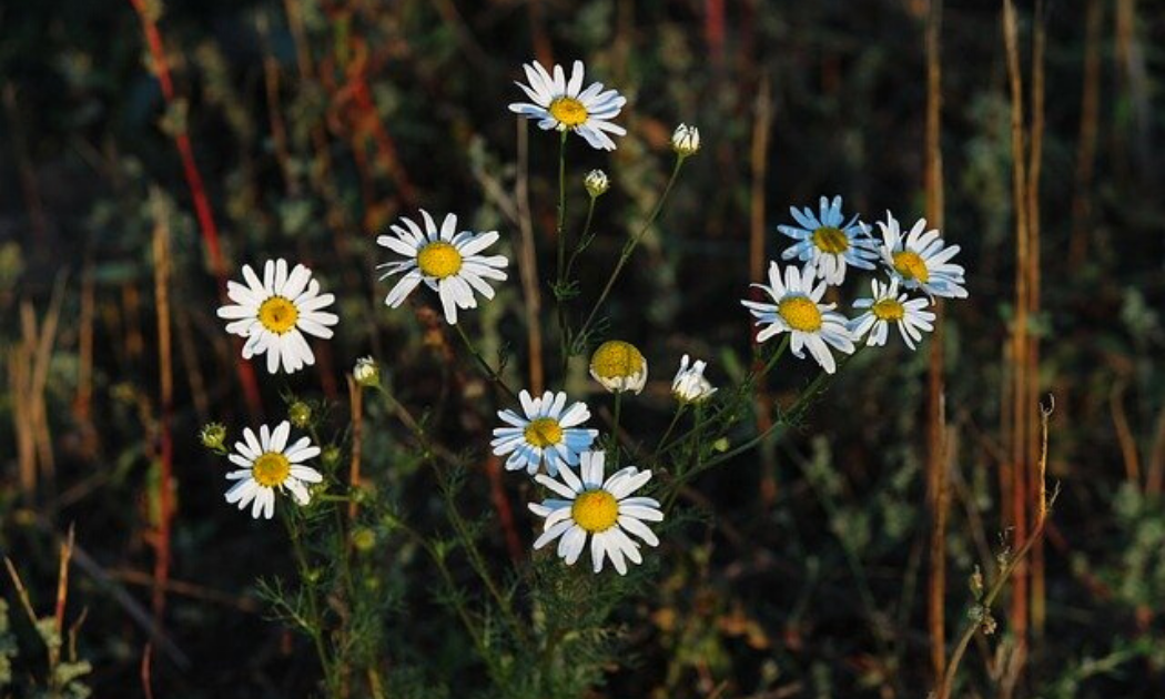 11 chamomile flowers standing tall.