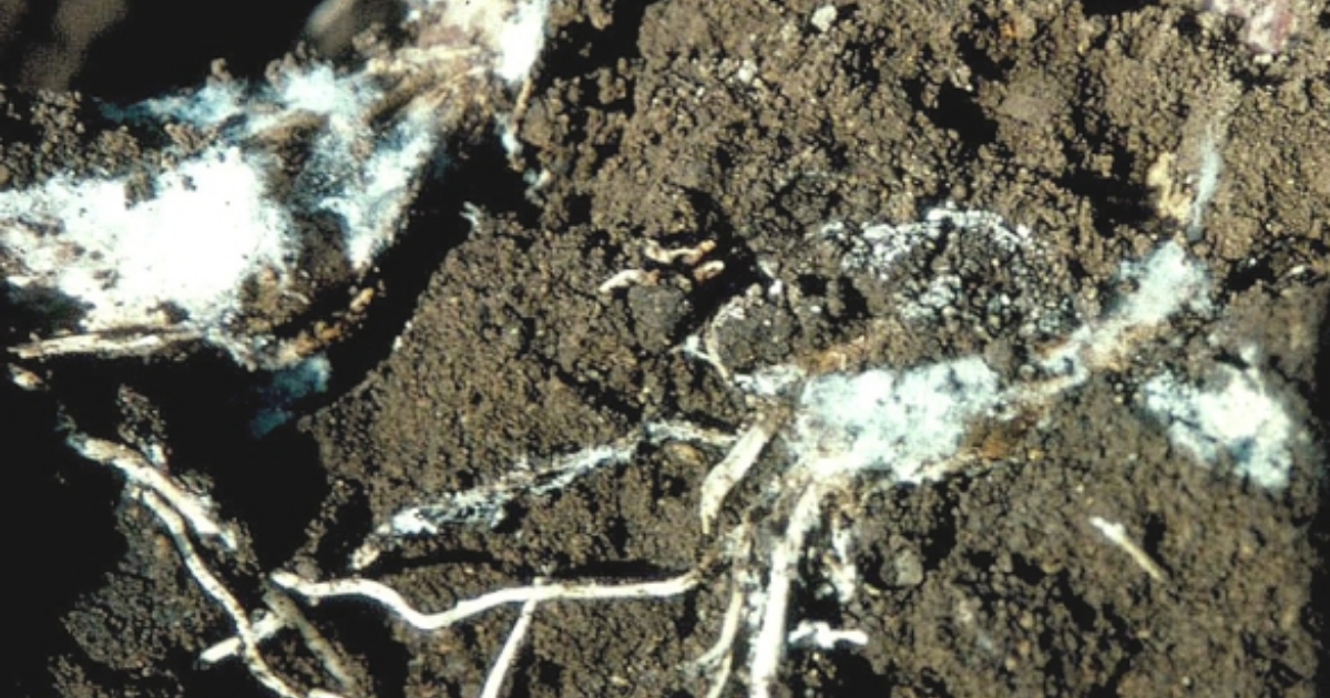 White rot infected soil.