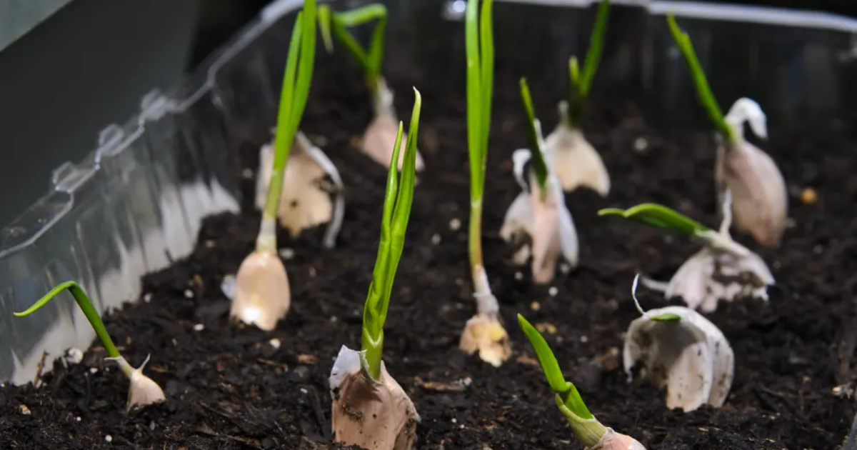 Growing garlic in container pots.