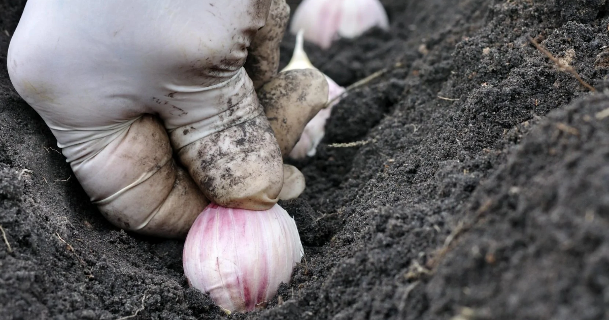 Planting garlic cloves in a container pot.
