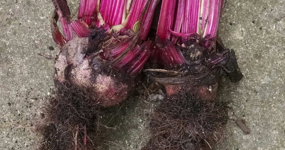 Red beets with hairy side roots disease.