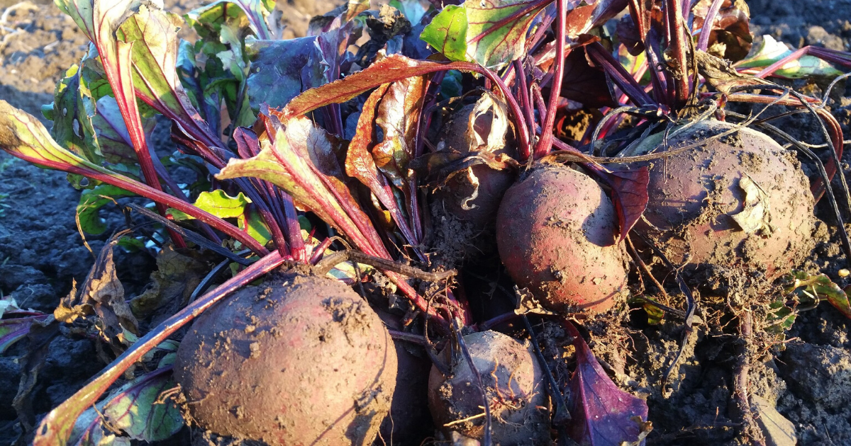 Newly harvested beets from a container garden.