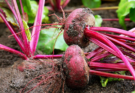 Newly harvested red beets