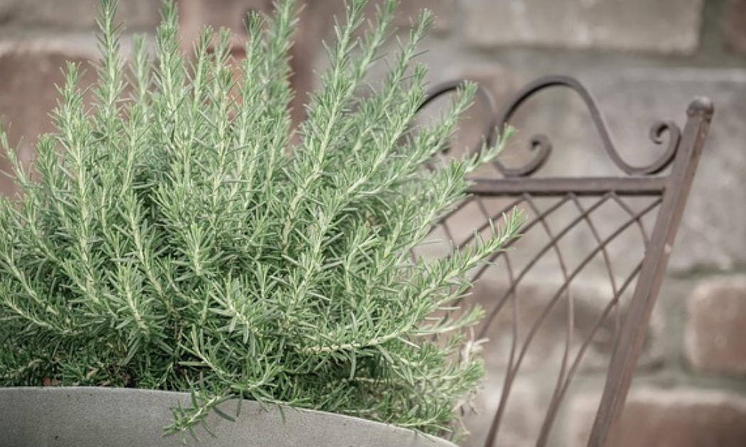 Rosemary grown in a concrete pot.