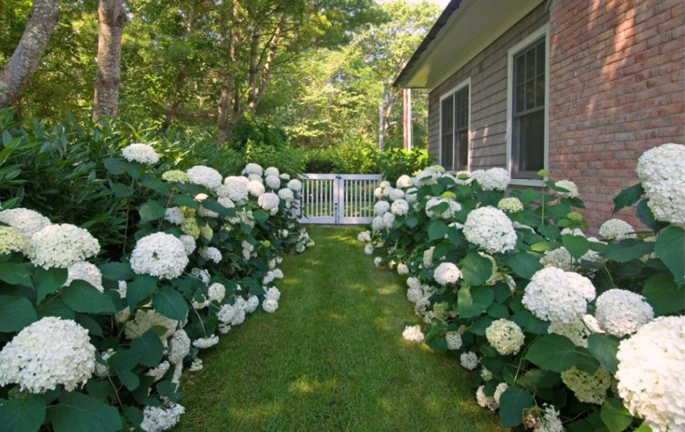 White hydrangeas bloom beautifully on both sides of an entrance.