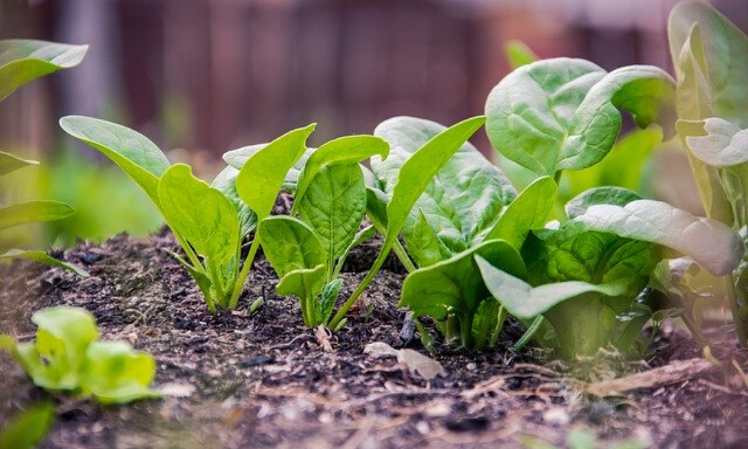 Young spinach in the garden.