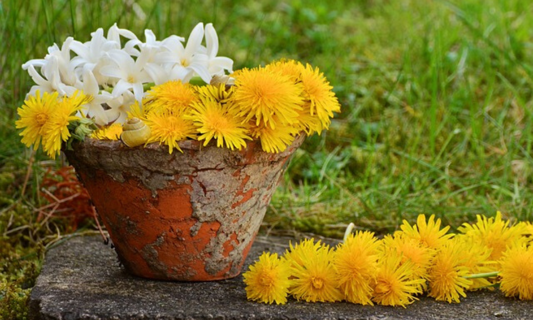 Yellow dandelion flowers in a pot.