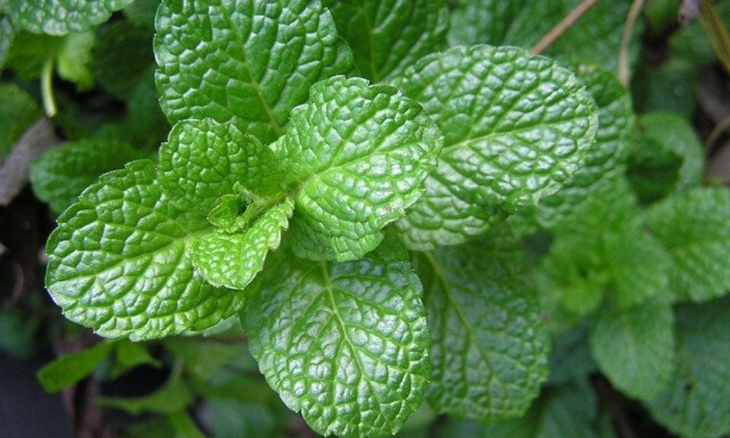 Healthy peppermint leaves.