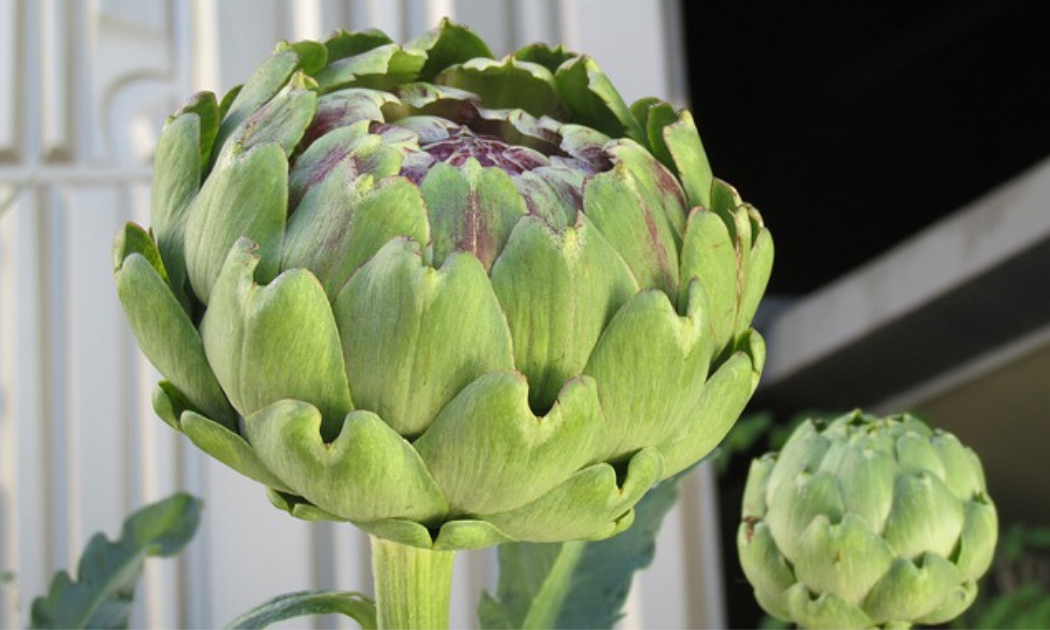 Two pieces of artichokes ready to harvest.