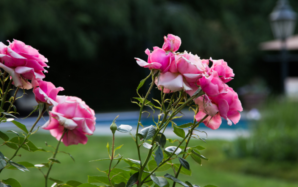 Clusters of pink roses.