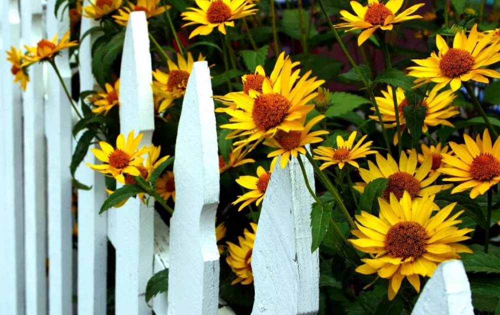 Yellow flowers and a white wooden fence.