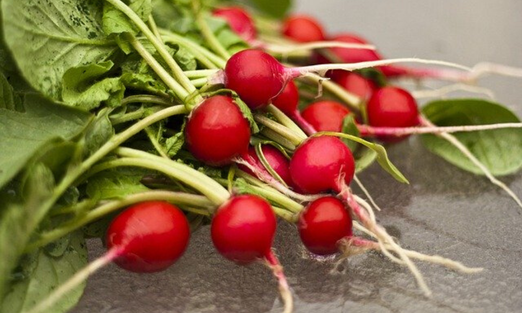 Newly harvested red radishes.