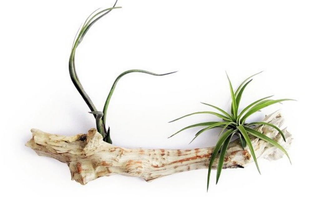 Air plant growing in an aged log.