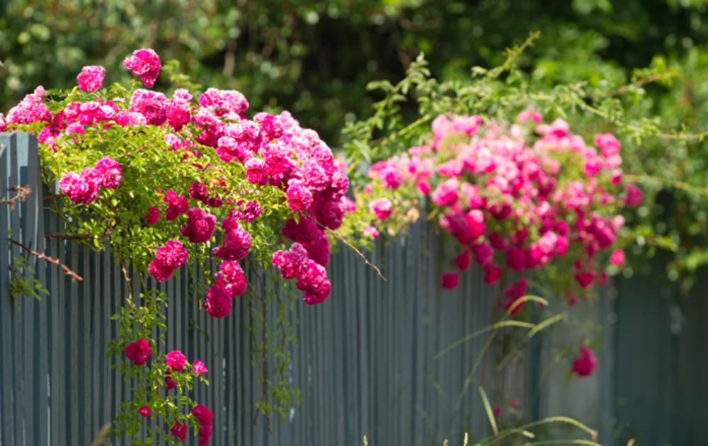 Blooming pink roses over the fence.