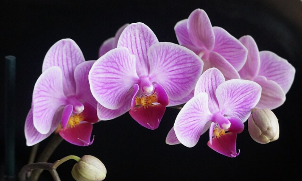 Orchid's pink flowers in stalk.