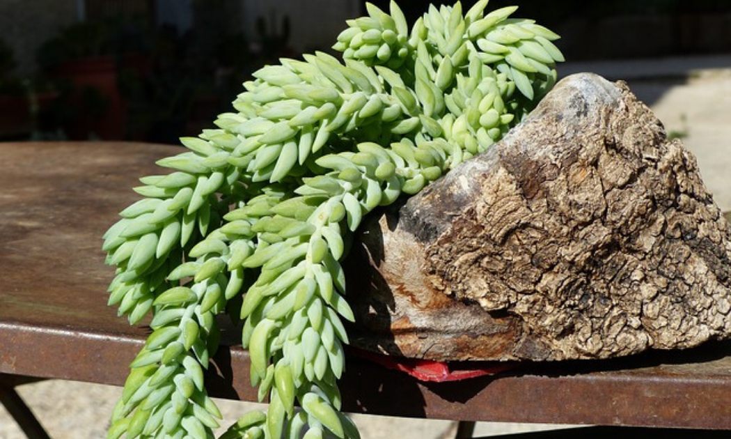 Donkey's tail growing in a log planter.