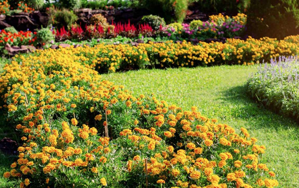 A garden of fragrant marigolds along with other culinary herbs.