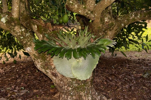 Staghorn fern growing vertically on the surface of a tree trunk.